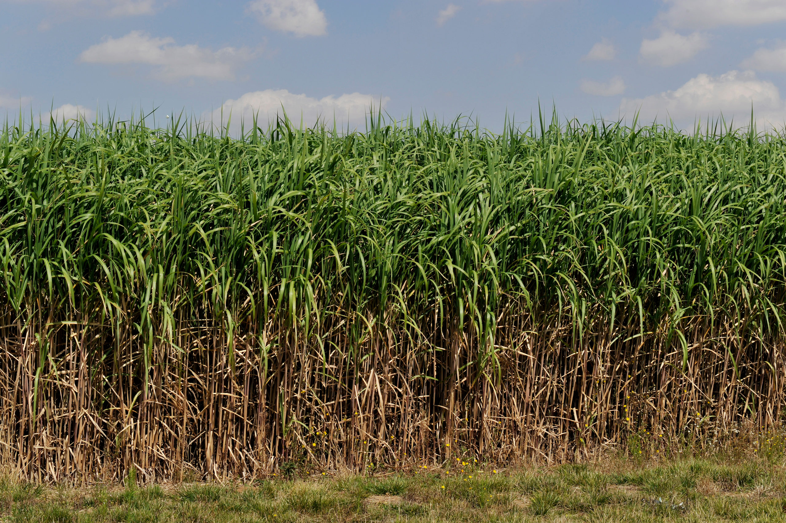 Video: Miscanthus study
